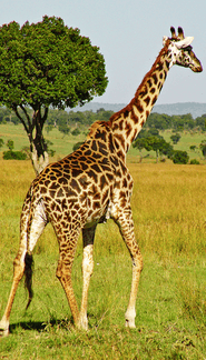 giraffe_picture_-_Google_Search.png